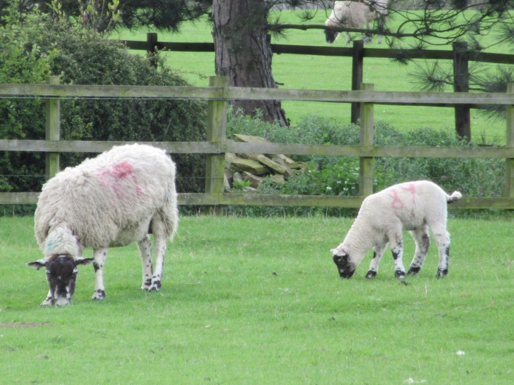 Browns Antiques Billiards & Interiors, sheep outside our workshop & showroom.